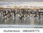 Flock Of Canada Geese On The...