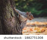 The Eastern Gray Squirrel ...