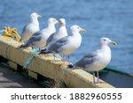 A Line Of Icelandic Gulls  Grey ...