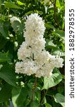 Upright  White Lilac Panicle Of ...