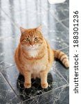 Stock photo beautiful furry cat on the marble tile 188301236