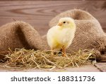 Little Yellow Chick
