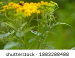 Little Ant On Yellow Flowers