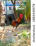 Rooster In A Garden Near To The ...