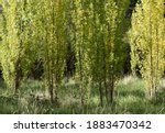 A stand of young poplar trees in early autumn foliage