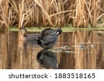 One American Coot Resting On...