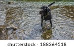 black labrador dog playing in... | Shutterstock . vector #188364518