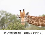 Male Giraffe Browsing On A Low...