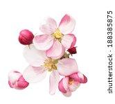 Apple Tree Blossoms. Spring...