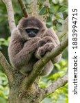 The silvery gibbon  hylobates...