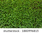Buxus Hedge. Texture Of Viable...