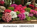 Many flowering azalea bushes in ...