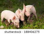 Cute Piglets Standing And...
