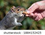 Grey Squirrel Being Fed In A...