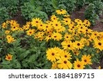 A group of Rudbeckia, Tiger Eye Gold, flowers growing in a garden in Janesville, Wisconsin, USA