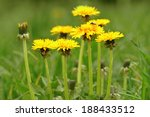 A Group Of Yellow Dandelions I...