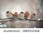 Flock Of Small Bird Sparrow...