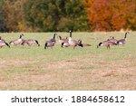 Flock Of Canadian Geese  Branta ...