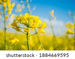 Landscape Of A Field Of Yellow...