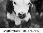 Hereford Beef Calf With Snow...