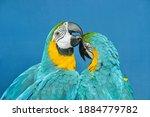 Two Blue Yellow Macaw Preening. ...
