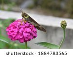 Zinnia Flowers Are Pink With A...