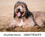 Labradoodle Relaxing And Taking ...