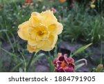 Luxury Flower Daylily  Patricia ...