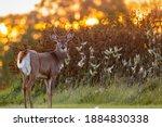 White tailed buck  odocoileus...