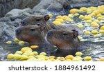 Capybara In A Hot Onsen Bath...