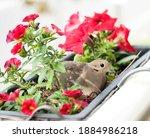 In The Spring Time Dove Female...