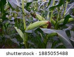 Corn On The Green Stalk In The...