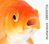 portrait of red goldfish macro | Shutterstock . vector #188505716