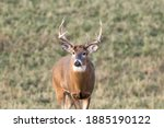 Small photo of Trophy White-tailed Buck (Odocoileus virginianus) with a missing brow tine standing and looking alert in a field during autumn. Selective focus, background blur and foreground blur.