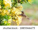 A Little Hermit Hummingbird...