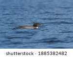 A Juvenile Common Loon Swimming ...