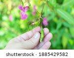 Himalayan Balm Seeds In Hand...