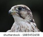 Saker Falcon  Portrait With...