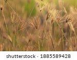 Closeup Swollen Finger Grass ...
