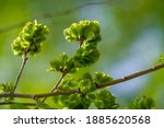 The Elm Blooms On A Tall ...