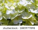 Green Hydrangea Flower ...