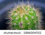 Golden Barrel Cactus Plant In A ...