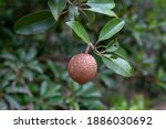 Close Up Of Sapodilla Fruit On...