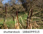 Cattails Growing In Autumn With ...