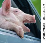 Beautiful Pig Yawns From The...