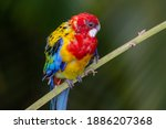 A Bright Red And Yellow Eastern ...