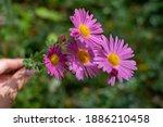 Chrysanthemum Flowers In A...