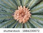 Close Up Image Of Female Cone...