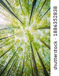Small photo of Looking Up In Beautiful Pine Deciduous Forest Trees Woods Canopy. Bottom View Wide Angle Background. Greenwood Forest. Trunks And Branches With Fresh Spring Lush.