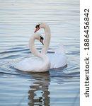 A Pair Of Mute Swans  Cygnus...